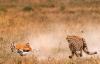 在牛屁股上画眼睛 能保护它不被狮子攻击? 奇怪的知识增加了
