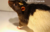 马斯克宣布脑机接口重大进展:请来三只猪现场展示