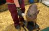 马斯克展示脑机接口新进展:芯片植入活猪 实时读取猪脑信息