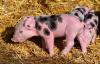 """新希望董事长刘永好:养种猪就是做""""猪的芯片"""" 要国产化"""