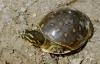 【速搜资讯】印度惊现金色乌龟:像极了长腿的蛋黄