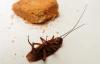 """【速搜资讯】日本科学家将蟑螂改造成""""家政小能手"""":通过刺激神经控制身体"""