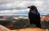 【速搜资讯】罕见:上万只乌鸦侵袭加拿大 遮天蔽日