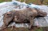【速搜资讯】西伯利亚永冻土中发现20000年前长毛犀牛:皮毛完好 内脏清晰可见