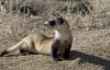 【速搜资讯】世界最稀有哺乳动物之一!美国一黑足雪貂死后33年被成功克隆