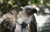 【速搜资讯】你不是一只鸡!秃鹫被放生后溜回蹭饭 网友:不想努力了