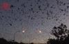 【速搜资讯】澳大利亚遭8万狐蝠入侵 黑压压一片场面骇人