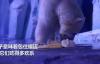 【速搜资讯】上海北极熊过年吃到4斤重大饺子 网友:吃得真欢乐