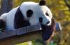 【速搜资讯】日本出生大熊猫香香回国再延期:受新冠疫情影响