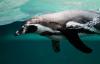 【速搜资讯】求生欲爆棚 企鹅遭虎鲸捕杀 危急关头跳上游船