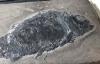 【速搜资讯】贵州发现2.44亿年前大型盘州暴鱼:驼背、满口尖牙、凶狠