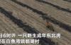 【速搜资讯】黑龙江进村的东北虎已被控制:扑倒一名村民