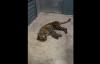 【速搜资讯】杭州第三只出逃豹子行踪被发现::跑出包围圈、今日继续搜寻