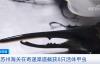 【速搜资讯】世界最长!8只长戟大兜虫差点流入国内 可举起自重850倍物体