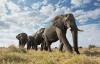 【速搜资讯】专家称象群迁徙方向是随机的:与象群首领的经验无关