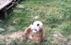 【速搜资讯】全球唯一棕色大熊猫亮相 网友:打印到你时没墨了吗?