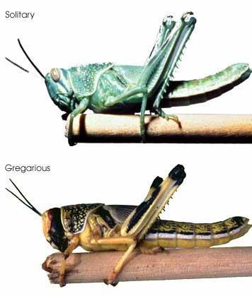 蝗虫集群出动成灾 竟是为了避免被同类吃掉