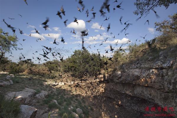 携带多种致命病毒 蝙蝠为何能活的很好
