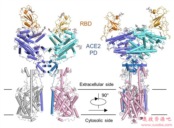 中国学者给力!Science封面最新论文:揭露新冠病毒如何入侵细胞