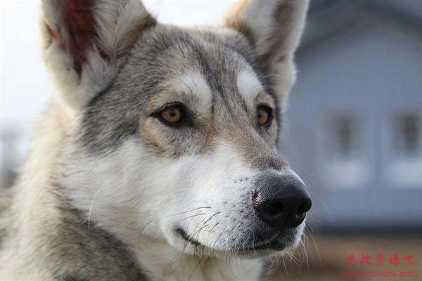全球第二起 一只德国狼狗新冠病毒测试呈阳性反应