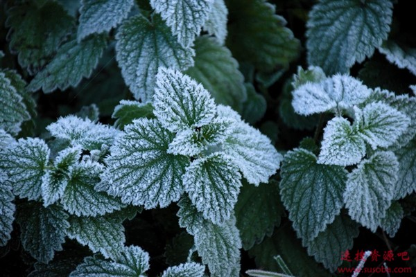 科学家从薄荷叶获灵感研制新材料:涂层让霜冻瞬间消失