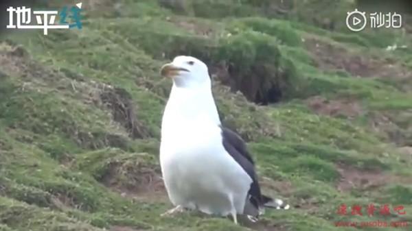 令人胆寒一幕:饥饿的海鸥强行吞下一整只兔子