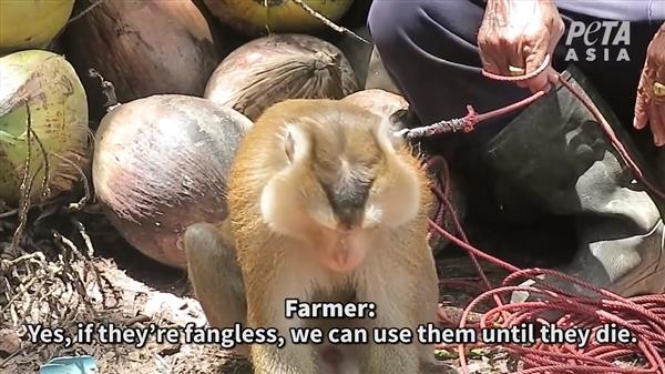 """【速搜资讯】""""猴子奴隶""""惨无人道!泰国椰子制品被大面积封杀"""