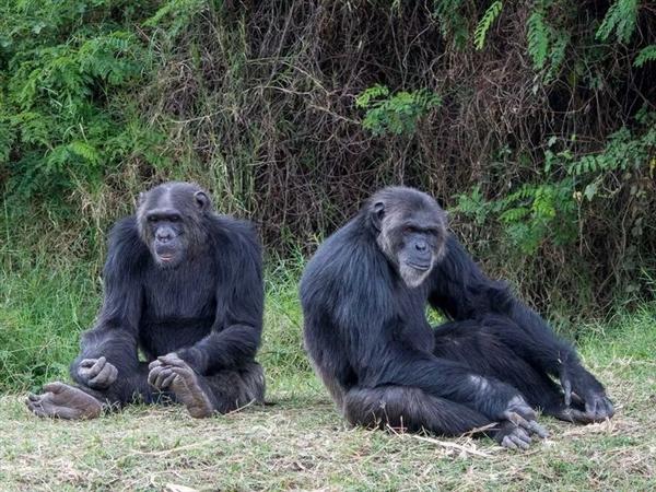 【速搜资讯】与人类基因相似度98.4%:大猩猩全球首次感染新冠病毒