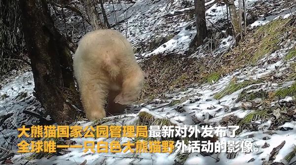 【速搜资讯】罕见!全球唯一白色大熊猫长大变金白色:没有黑眼圈