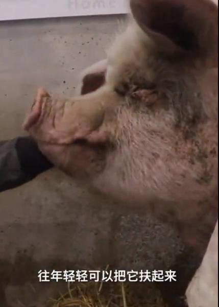 【速搜资讯】汶川地震奇迹生还 13岁猪坚强已不能自主站立 卧床吹暖气避寒