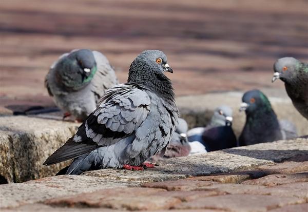 【速搜资讯】赛鸽横跨太平洋 因防疫规定将被杀 网友:搞错方向太惨了