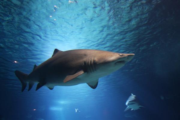 【速搜资讯】地球史上最强悍生物!研究发现小巨齿鲨在子宫中靠吞噬同胞长大
