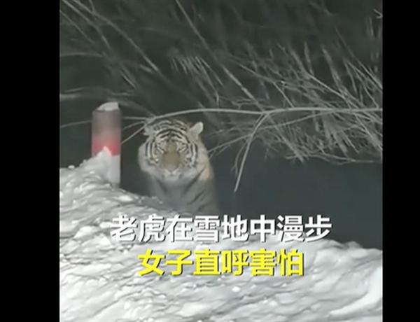 【速搜资讯】女子下班途中偶遇东北虎 专家提醒:遇见野生动物应保持距离