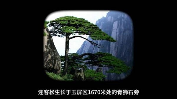 【速搜资讯】千年黄山迎客松每年都在长高:树龄千年仍挺拔、促使岩石风化